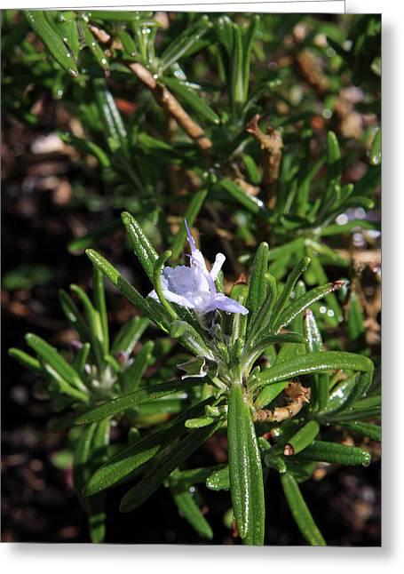 Rosemary Flower Greeting Card by Aidan Moran