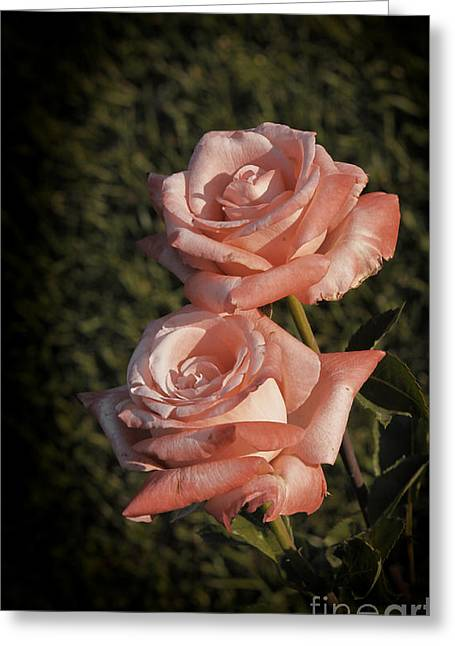 Roses In Bloom Greeting Card by Stefano Senise