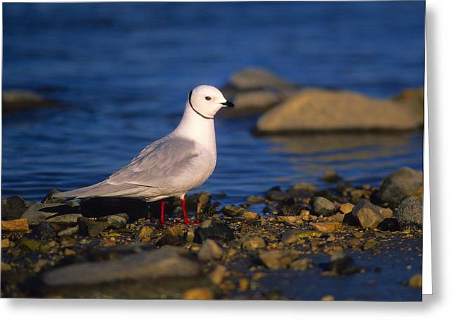 Seabirds Greeting Cards - Rosss Gull Greeting Card by Tony Beck