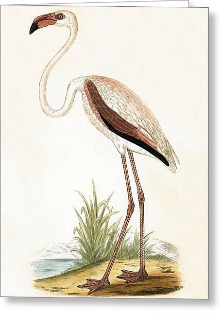 Rosy Flamingo Greeting Card by English School