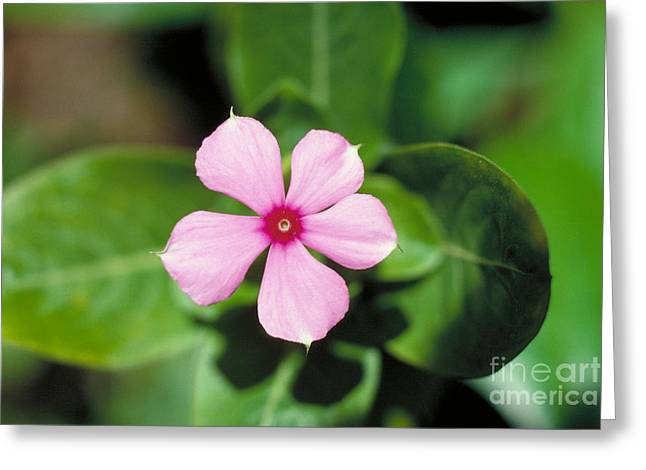 Vinca Flowers Greeting Cards - Rosy Periwinkle Flower Greeting Card by John Kaprielian