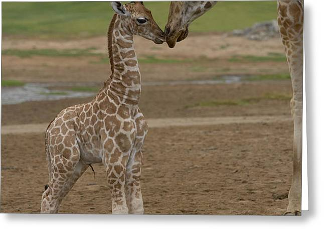 Rothschild Giraffe Giraffa Greeting Card by San Diego Zoo