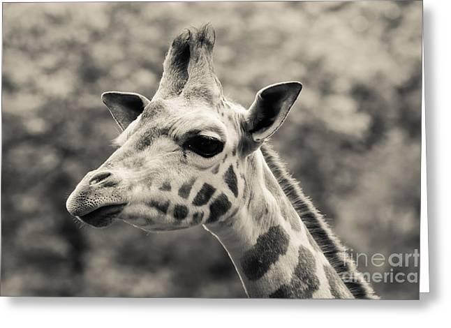 Zoology Greeting Cards - Rothschilds Giraffe 3 Greeting Card by Marcin Rogozinski