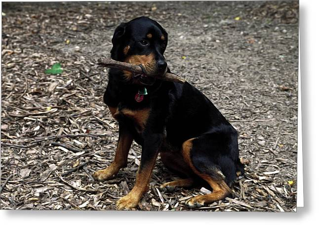 Rottweiler Dog Holding Stick In Mouth Greeting Card by Sally Weigand