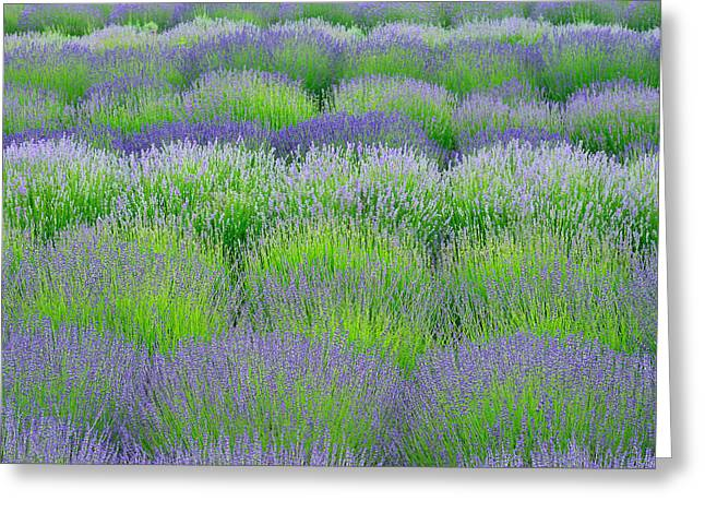 Rows Of Lavender Greeting Card by Hegde Photos
