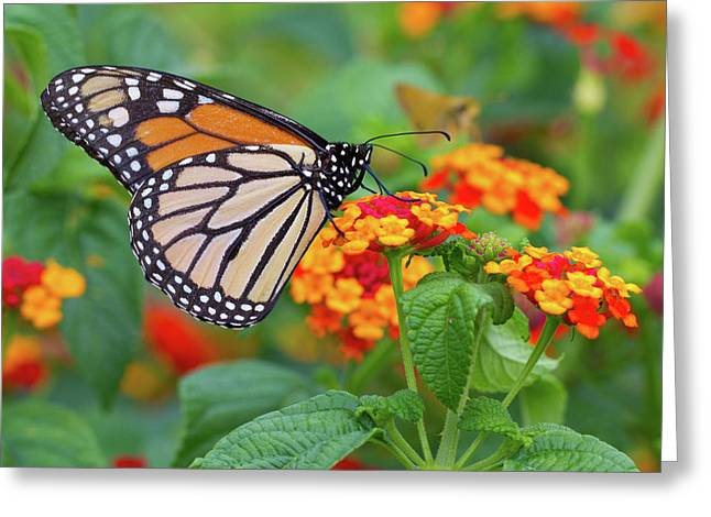 Hershey Greeting Cards - Royal Butterfly Greeting Card by Shelley Neff
