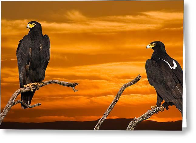 Birds Of Prey Print Greeting Cards - Royal Flush - African Black Eagles Greeting Card by Basie Van Zyl