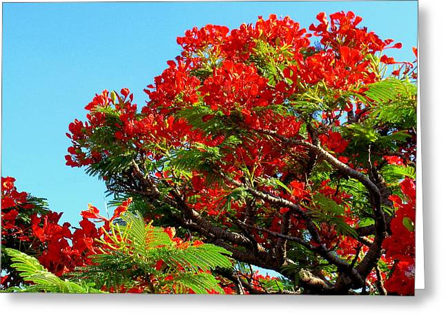 Royal Poinciana Orange Greeting Card by James Temple