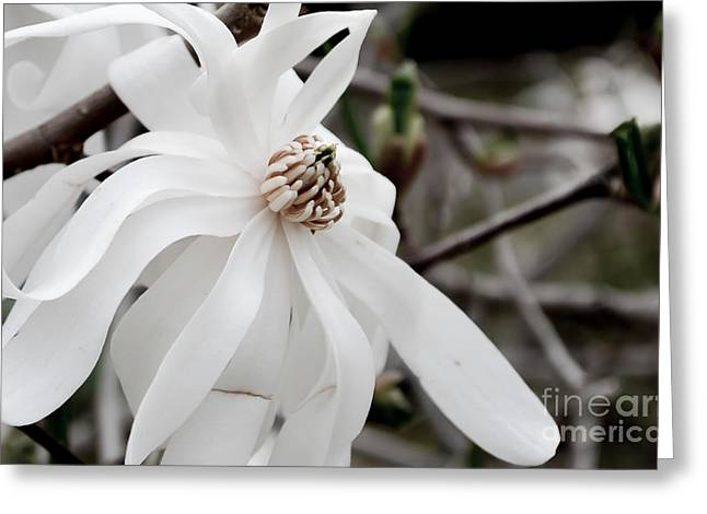 Sepia And Cream Greeting Cards - Royal Star Magnolia Greeting Card by Alissa Rosenberg