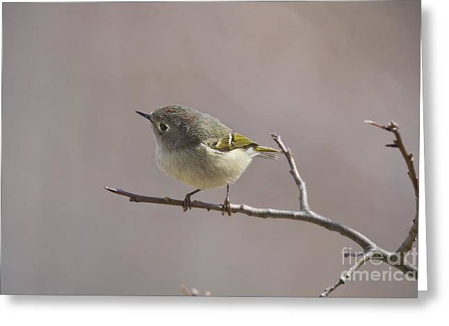 Ruby-crowned Kinglet Birds Greeting Cards - Ruby-Crowned Kinglet Greeting Card by Cameron Williams