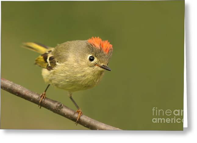 Ruby-crowned Kinglet Birds Greeting Cards - Ruby-crowned Kinglet Portrait Greeting Card by Mircea Costina Photography