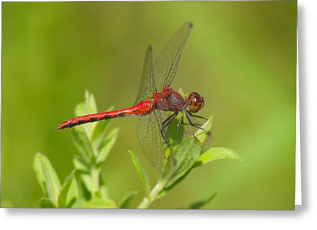 Rubicundulum Greeting Cards - Ruby Meadowhawk Greeting Card by Gerald DeBoer