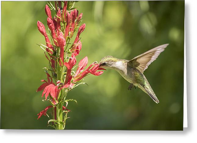 Lobelia Greeting Cards - Ruby Throated Hummingbird 2-2015 Greeting Card by Thomas Young