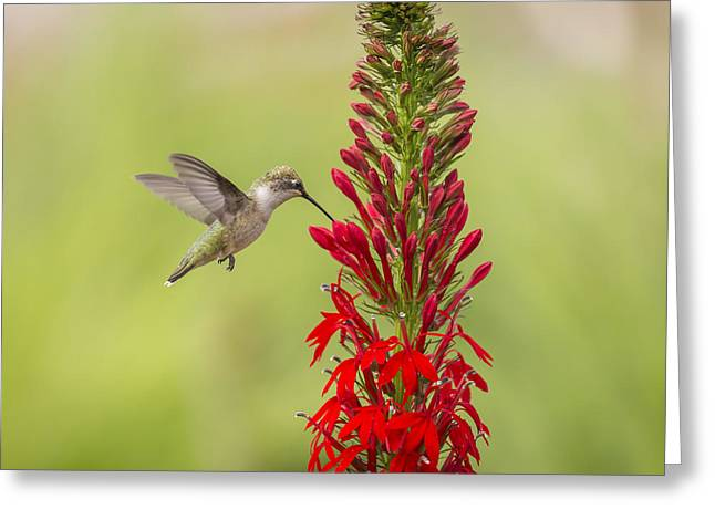 Lobelia Greeting Cards - Ruby Throated Hummingbird 3-2015 Greeting Card by Thomas Young