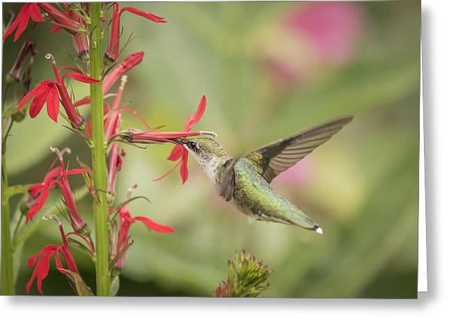 Lobelia Greeting Cards - Ruby Throated Hummingbird 5-2015 Greeting Card by Thomas Young
