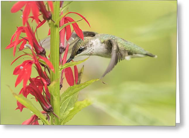 Lobelia Greeting Cards - Ruby Throated Hummingbird 6-2015 Greeting Card by Thomas Young