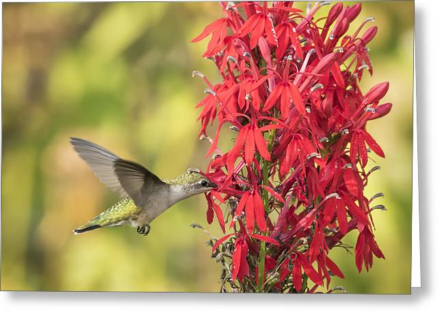 Lobelia Greeting Cards - Ruby Throated Hummingbird 8-2015 Greeting Card by Thomas Young