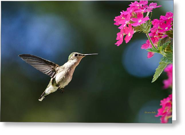 Flying Animal Greeting Cards - Ruby-Throated Hummingbird And Pink Verbena Greeting Card by Christina Rollo