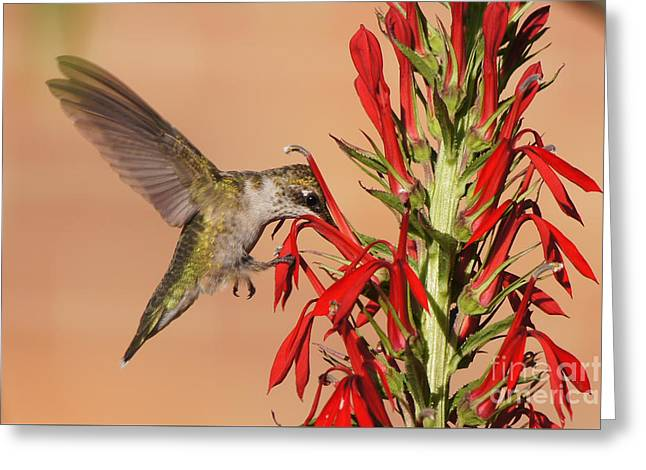 Reflections Of Infinity Greeting Cards - Ruby-Throated Hummingbird Dining on Cardinal Flower Greeting Card by Robert E Alter Reflections of Infinity