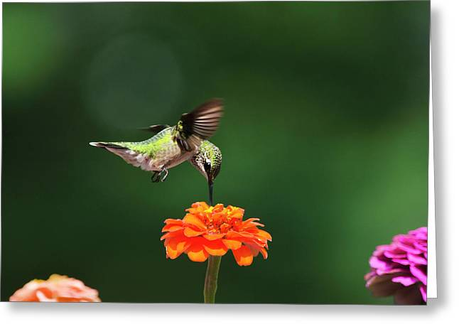 Ruby-Throated Hummingbird Feeding On Orange Zinnia Flower Greeting Card by Christina Rollo