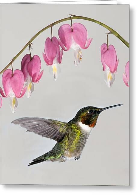 Archilochus Colubris Greeting Cards - Ruby-Throated Hummingbird With Bleeding Hearts Greeting Card by Lara Ellis