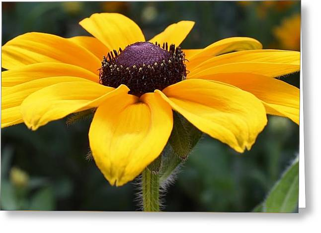 Rudbeckia Bloom Up Close Greeting Card by Bruce Bley