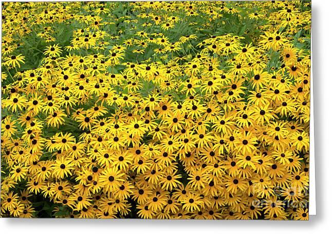Rudbeckia Fulgida Deamii Flowers Greeting Card by Tim Gainey