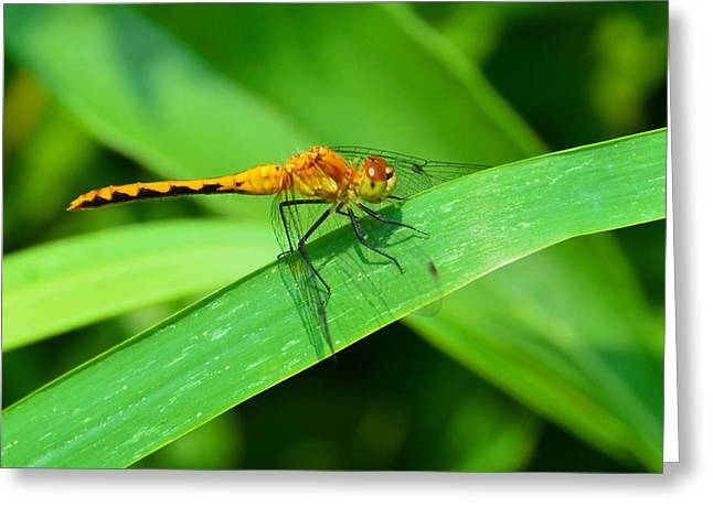 Macro Dragonfly Picture Greeting Cards - Ruddy Darter Dragonfly Greeting Card by Chris Tennis