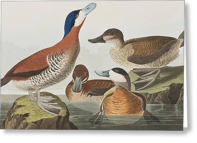 Male And Female Greeting Cards - Ruddy Duck Greeting Card by John James Audubon