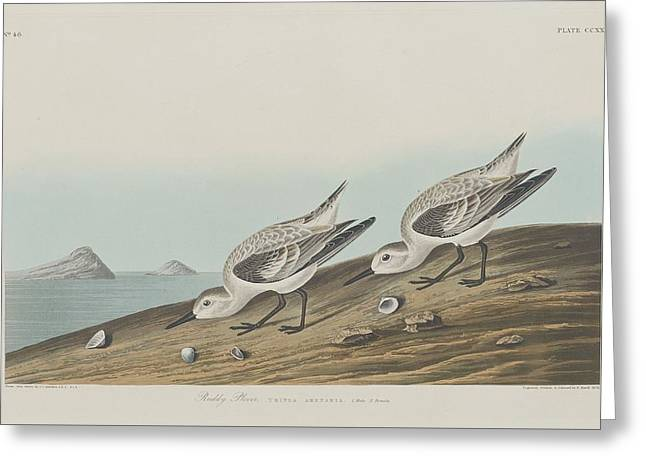 Shorebirds Greeting Cards - Ruddy Plover Greeting Card by John James Audubon