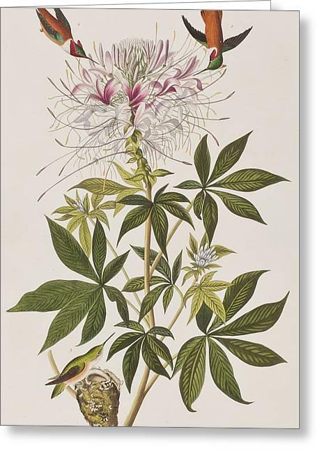 American Birds Greeting Cards - Ruff-Necked Hummingbird Greeting Card by John James Audubon
