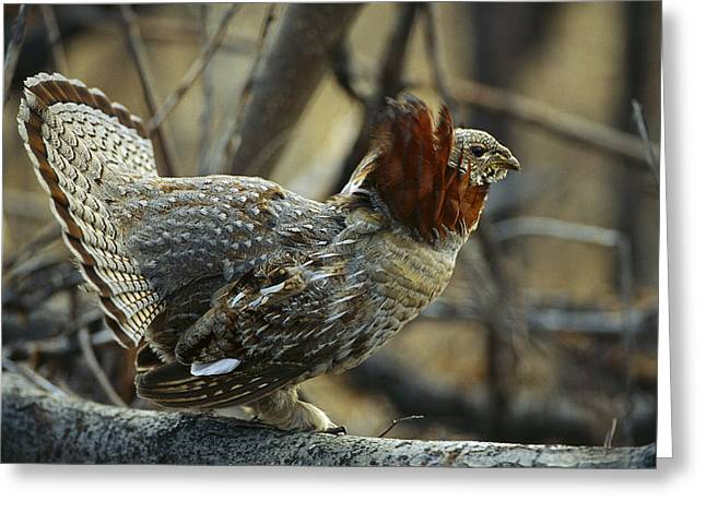 Gamebird Greeting Cards - Ruffed Grouse Bonasa Umbellus Male Greeting Card by Michael Quinton