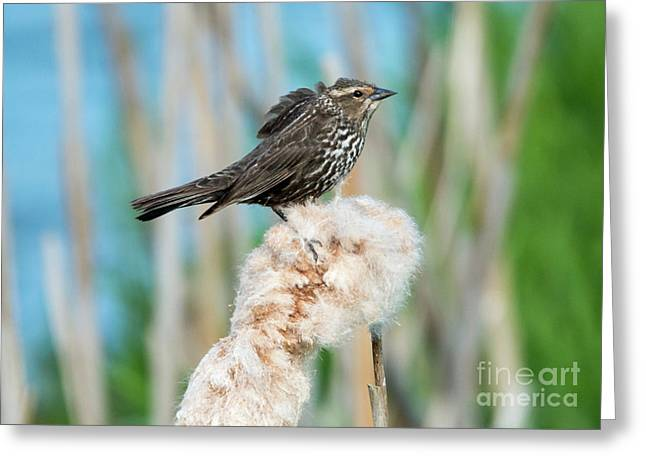 Ruffled Feathers Greeting Card by Mike Dawson