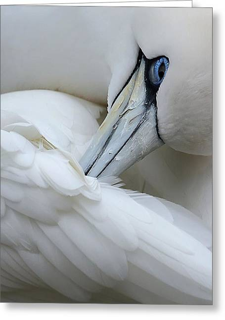 Alcatraz Greeting Cards - Ruffling Feathers Greeting Card by Marinka Masseus