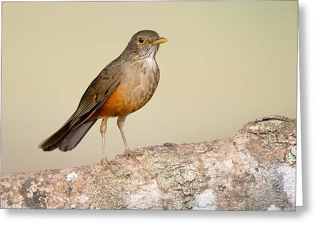 Thrush Greeting Cards - Rufous-bellied Thrush Turdus Greeting Card by Panoramic Images