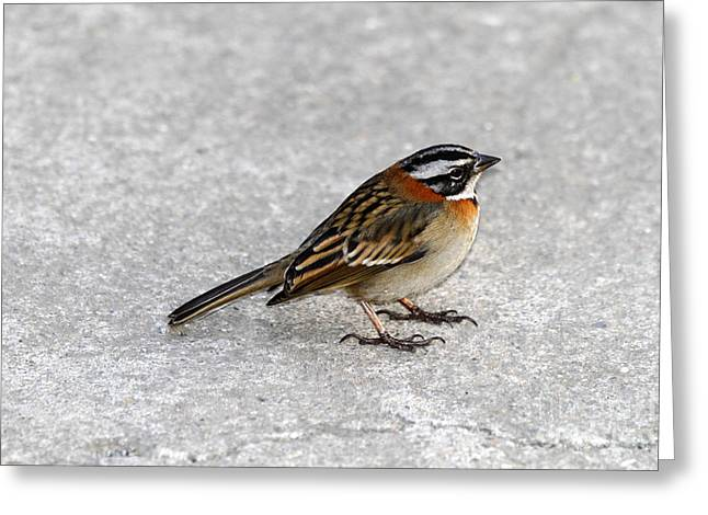 Rufous Collared Sparrow Greeting Card by James Brunker