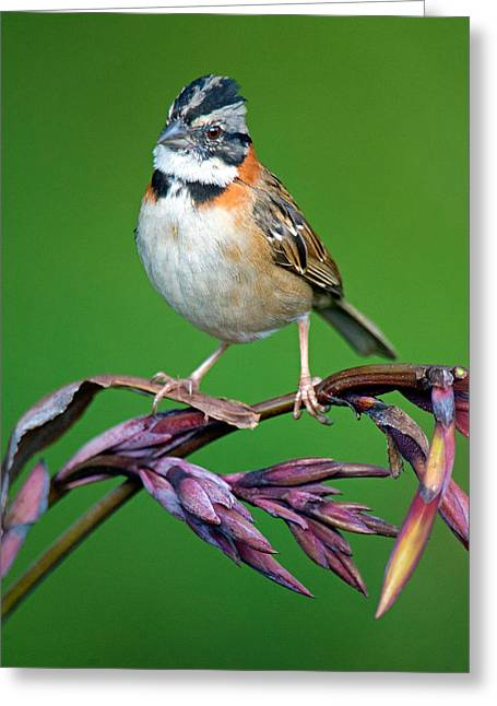 Collar Greeting Cards - Rufous-collared Sparrow Zonotrichia Greeting Card by Panoramic Images