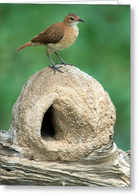 Rufus Greeting Cards - Rufous Hornero Furnarius Rufus On Nest Greeting Card by Panoramic Images