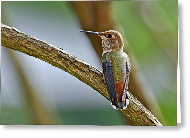 Wildlife In Gardens Greeting Cards - Rufous Hummming Bird in Detail II Greeting Card by Laura Mountainspring