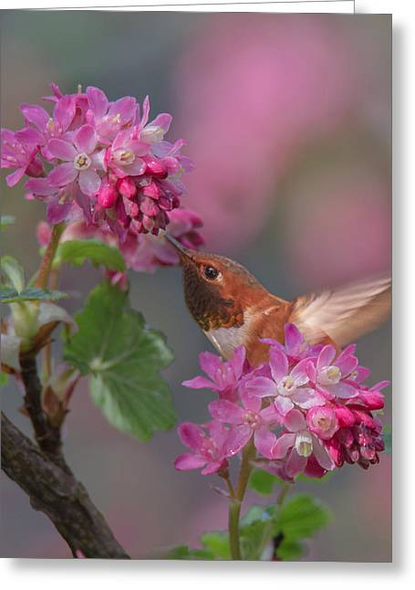 Migrating Hummingbird Greeting Cards - Rufous in the Currant Greeting Card by Angie Vogel