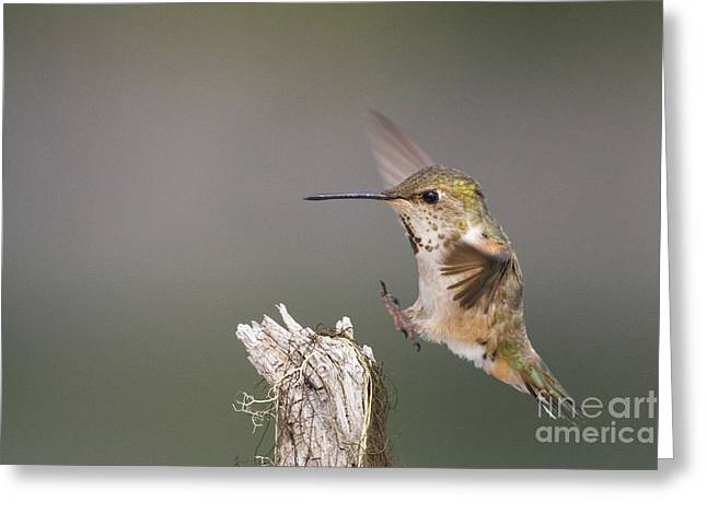 Rufus Greeting Cards - Rufus Hummingbird Landing Greeting Card by Tim Grams