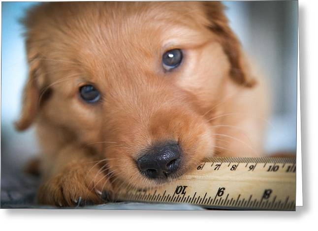 Golden Retriever Puppies Greeting Cards - RULER of MY HEART Greeting Card by Karen Wiles