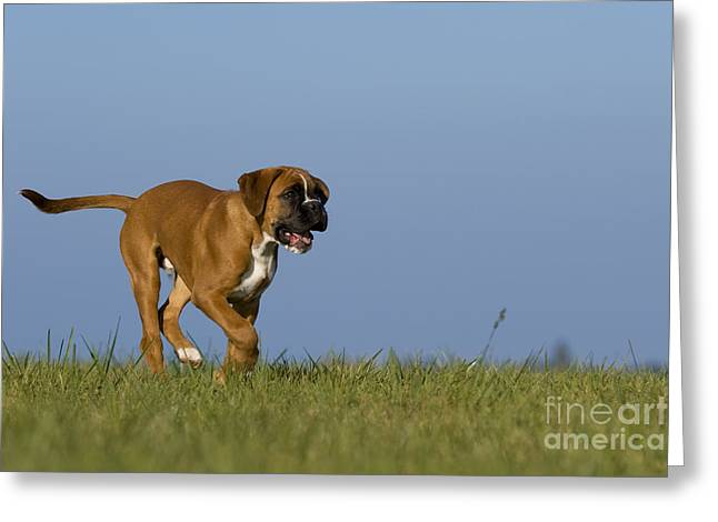 Dog At Play Greeting Cards - Running Boxer Puppy Greeting Card by Jean-Louis Klein & Marie-Luce Hubert
