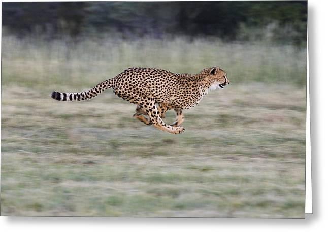 Cheetah Photographs Greeting Cards - Running Cheetah in Namibia Greeting Card by Suzi Eszterhas