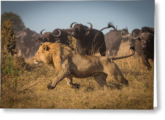 Lions Photographs Greeting Cards - Running For His Life Greeting Card by Marc Meijlaers