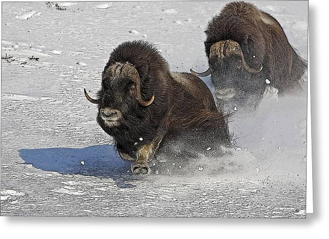 Hair Abstract Art Greeting Cards - Running of the Bulls- Musk Ox Style- Abstract Greeting Card by Tim Grams