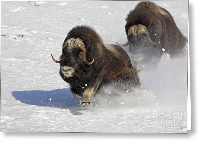Musk Greeting Cards - Running of the Bulls- Musk Ox Style Greeting Card by Tim Grams