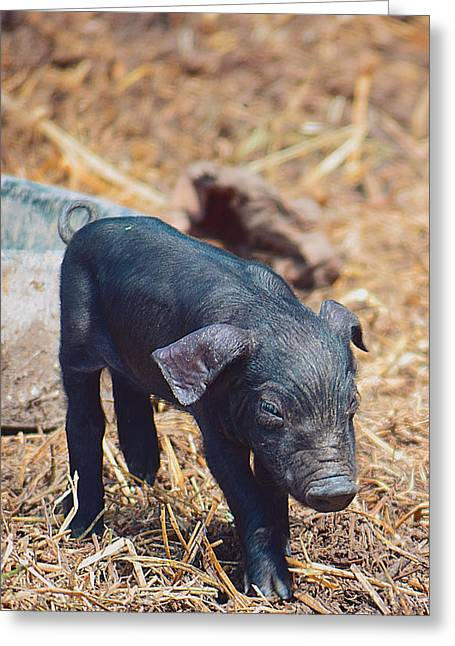 Piglets Greeting Cards - Runt of the Litter Greeting Card by Soul Full Sanctuary Photography By Tania Richley