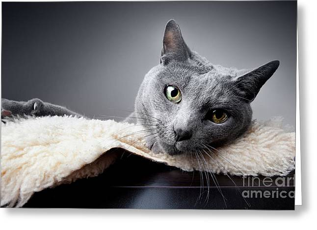 Play Photographs Greeting Cards - Russian Blue Cat Greeting Card by Nailia Schwarz