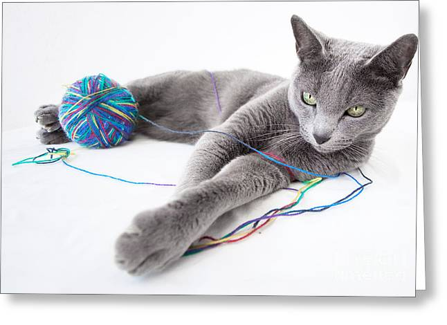Grey Background Greeting Cards - Russian Blue Greeting Card by Nailia Schwarz